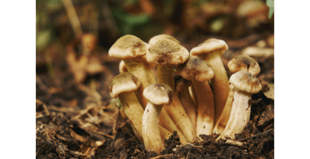 Mushrooms as nootropics, a new trend in supplementation